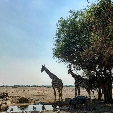 Wildlife sanctuary in Sir Bani Yas Island