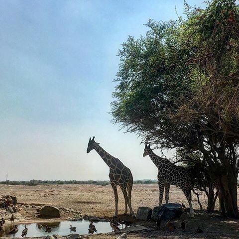 Wildlife sanctuary in Sir Bani Yas Island